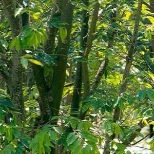 отдушка Удовое дерево