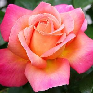 отдушка индийская роза