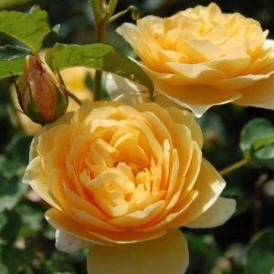 отдушка роза чайная
