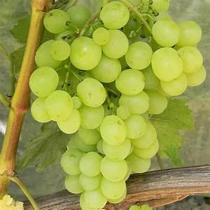 отдушка белый виноград